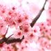 ピンク色が好きな人 性格と性質が凄く分かる! なるほどと思える心理学
